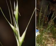 Achnatherum lemmonii