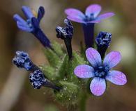 Allophyllum gilioides