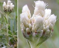Antennaria microphylla