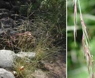 Aristida ternipes