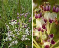 Asclepias longifolia