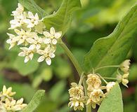 Asclepias ovalifolia
