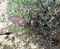 Astragalus barrii