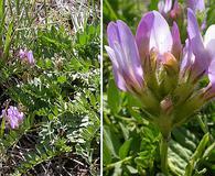 Astragalus cibarius
