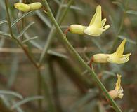 Astragalus filipes