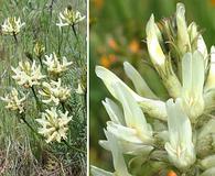 Astragalus hoodianus