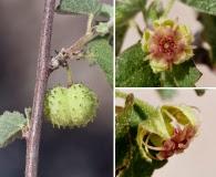 Ayenia microphylla