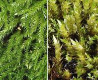 Brachythecium frigidum