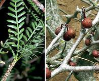 Bursera microphylla