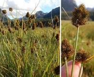 Carex athrostachya