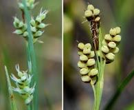 Carex garberi