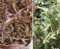 Cetraria arenaria