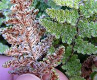 Cheilanthes covillei