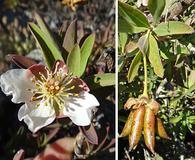 Crossosoma californicum