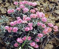 Eriogonum bicolor