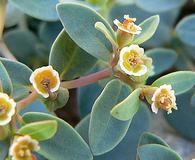 Euphorbia fendleri