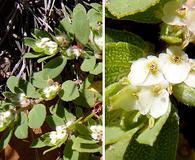 Euphorbia indivisa