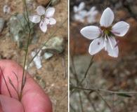 Hesperolinon spergulinum