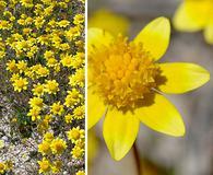 Lasthenia californica