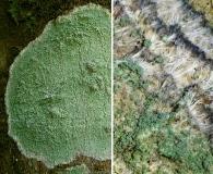 Lecanora thysanophora