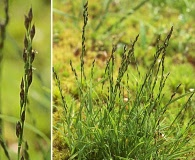 Muhlenbergia filiformis