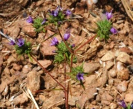 Navarretia filicaulis