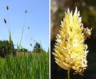 Phalaris californica