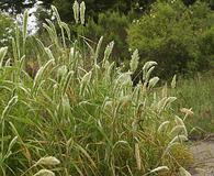 Polypogon monspeliensis