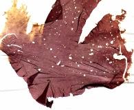 Porphyra purpurea