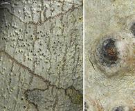 Pyrenula leucostoma