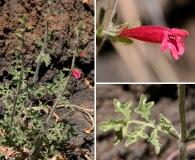 Salvia henryi