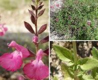 Salvia lemmonii
