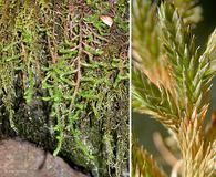 Selaginella wallacei