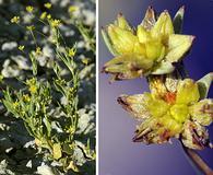 Stenogonum salsuginosum