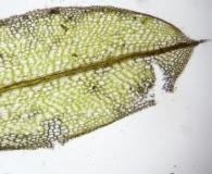 Tortula mucronifolia