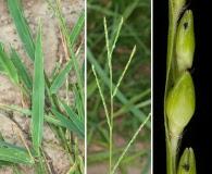 Urochloa platyphylla