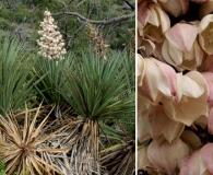 Yucca X schottii