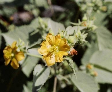 Abutilon fruticosum
