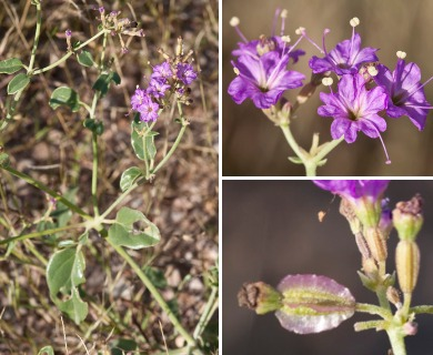 Acleisanthes chenopodioides