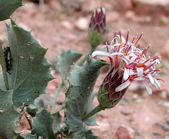 Acourtia nana