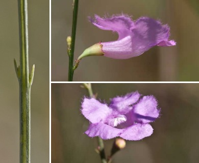 Agalinis aphylla