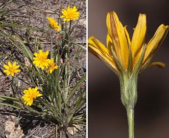 Agoseris parviflora