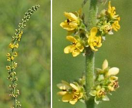 Agrimonia pubescens