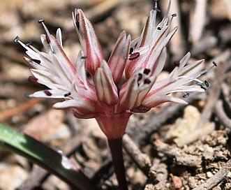 Allium burlewii