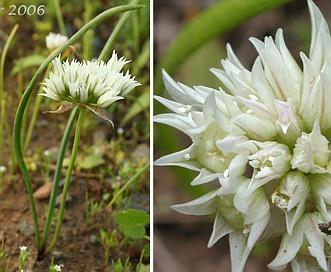 Allium fibrillum