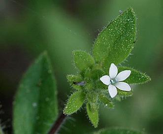 Allophyllum integrifolium