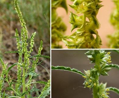 Amaranthus acanthochiton