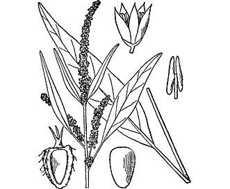 Amaranthus cannabinus