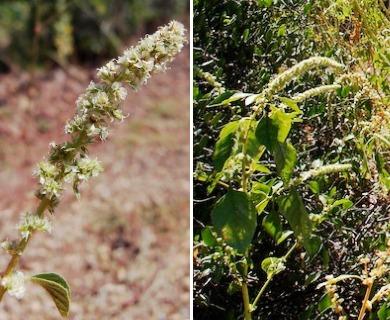 Amaranthus watsonii