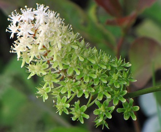 Amianthium muscitoxicum